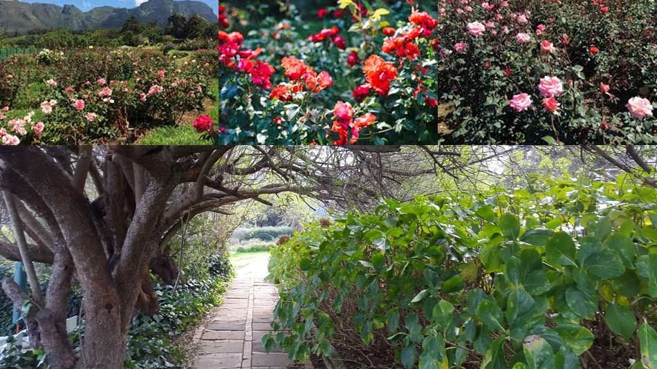 Chart Farm – synonymous with roses